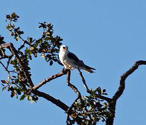Arastradero Creek - White-tailed kite (Elanus leucurus) atop oak at Arastradero Preserve.