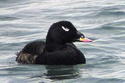 White-winged Scoter.jpg
