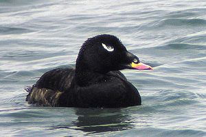 White-winged scoter - Adult male of the American race deglandi