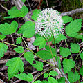 White Baneberry (Actaea pachypoda).jpg