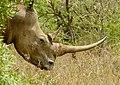 White Rhino (Ceratotherium simum) female ... (50103347927).jpg