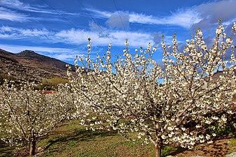 White cherries 01.jpg