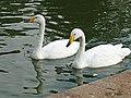 Whooper Swans (Cygnus cygnus) - geograph.org.uk - 1495486.jpg