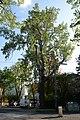 Wiener Naturdenkmal 383 - Silberpappel (Währing) a.JPG