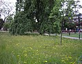 Wild flowers on Camberwell Green - geograph.org.uk - 1318625.jpg