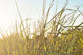 Wild grasses at sunset.jpg