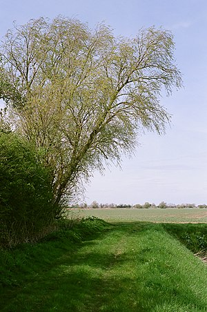 English: Willow tree by Fenditch Lane