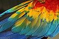 Wing of Scarlet Macaw.jpg