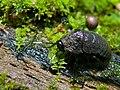 Wingless Cockroach (Catara rugosicollis) (8410291985).jpg