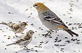 Winter Feeder Birds (32279804667).jpg