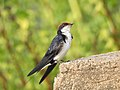 Wire tailed swallow 7.jpg