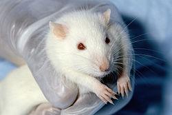 Hoe word ik een rat test