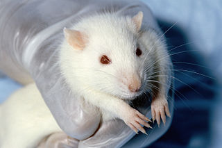 Animal testing on rodents
