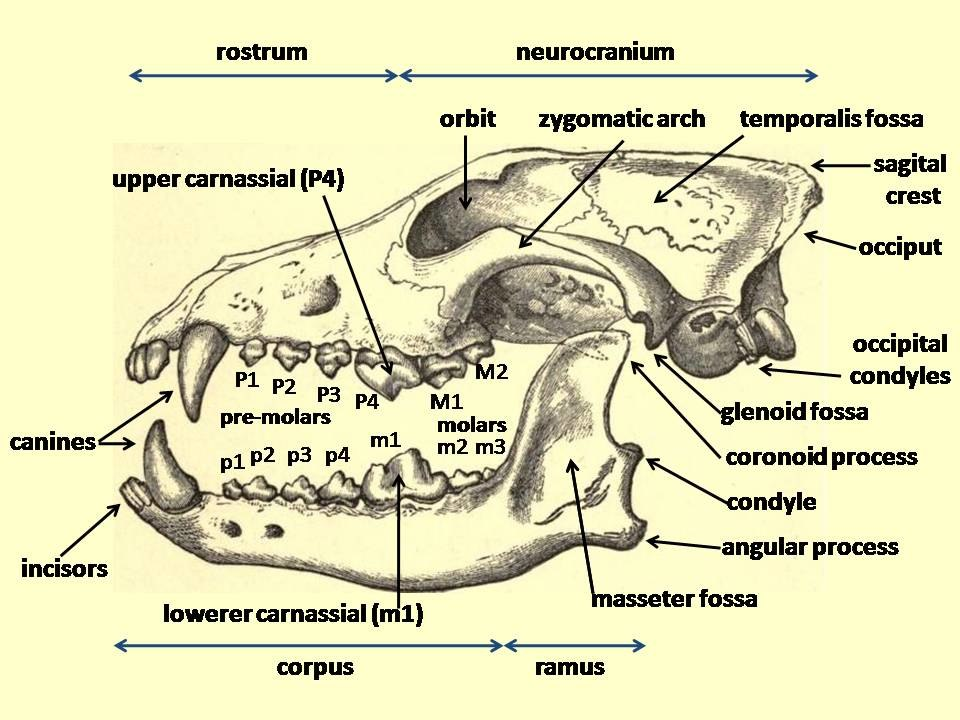 Wolf cranium labelled