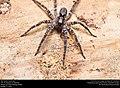 Wolf spider (Lycosidae) (25291946879).jpg