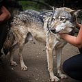 Wolves are the sweetest of dogs... (27302137575).jpg
