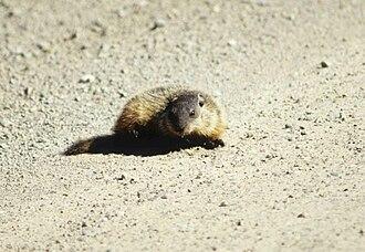 Wood Buffalo National Park - Image: Wood Buffalo NP Murmeltier 2 98 07 03