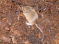 Wood mouse - geograph.org.uk - 526284.jpg