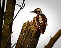 Woodpecker (19466884906).jpg
