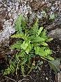 Woodsia ilvensis inat2.jpg