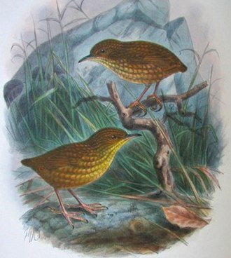 Cats in New Zealand - Lyall's wren became extinct within two years of the introduction of cats on to Stephens Island.   (An illustration from Walter Lawry Buller's A History of the Birds of New Zealand published in 1905.)