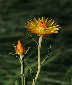 Xerochrysum subundulatum.jpg