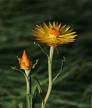 The Alpine Everlasting (Xerochrysum subundulatum)