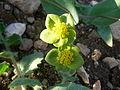 Yayladağı bitki 7.JPG