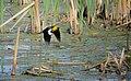 Yellow-headed Blackbird in flight (7337791270).jpg