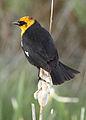Yellow-headed blackbird myatt odfw (7591210596).jpg