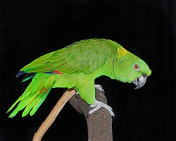 Yellow-naped Amazon.jpg