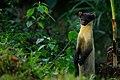 Yellow-throated Marten, Martes flavigula in Kaeng Krachan national park (15950339372).jpg