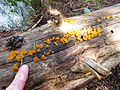 Yellow Fungi - Flickr - brewbooks.jpg