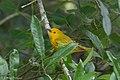 Yellow Warbler (male) Sabine Woods TX 2018-04-21 13-02-41 (41927568562).jpg