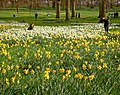 Yellow in Green Park - geograph.org.uk - 1209800.jpg
