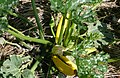 Yellow summer squash.jpg