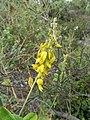 Yelow clover flowers (2) (43092539525).jpg