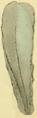 Young&Bird1822 pl10 fig6 Pinna folium.png