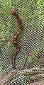 Young Agkistrodon piscivorus UMFS.jpg