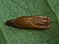 Yponomeuta rorrella - Willow ermine moth (exuvia) - Горностаевая моль ивовая (экзувий) (42883950465).jpg