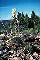 Yucca nana fh 1178.78 UT B.jpg