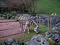 Zébre zoo de maubeuge.JPG