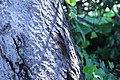 ZIMG 2675-Notholithocarpus densiflorus.jpg