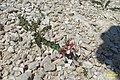 Zakynthos flora (35514091520).jpg