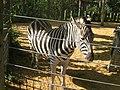 Zebra at London Zoo - geograph.org.uk - 971695.jpg
