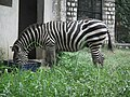 Zebra from Bannerghatta National Park 8646.JPG