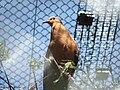 Zenaida graysoni -Edinburgh Zoo-6a.jpg