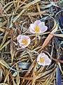 Zephyranthes fosteri.jpg