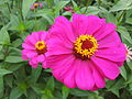 Zinnia from Lalbagh Flowershow - August 2012 101240.jpg