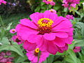 Zinnia from Lalbagh Flowershow - August 2012 101247.jpg